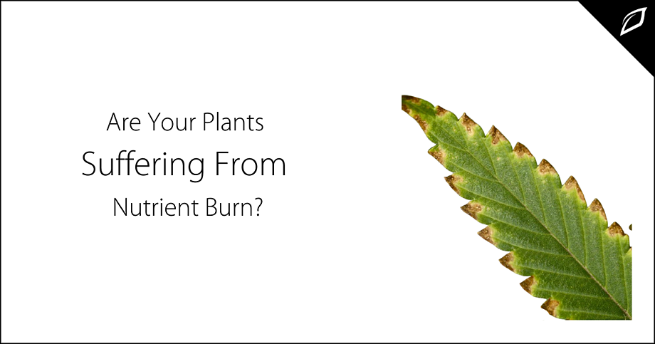 Are Your Plants Suffering From Nutrient Burn?-2
