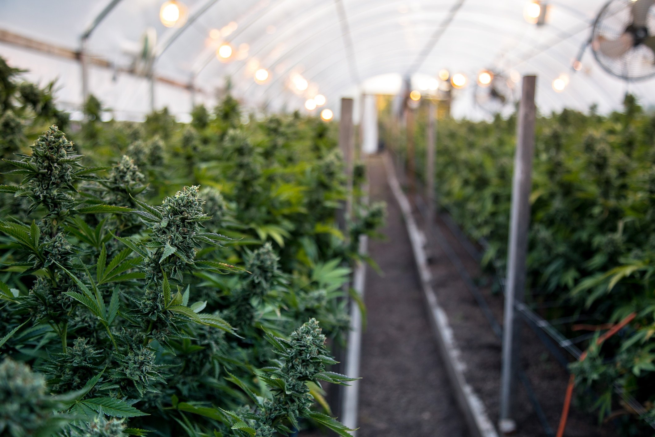 Setting Up a Cannabis Greenhouse from Scratch | Growlink