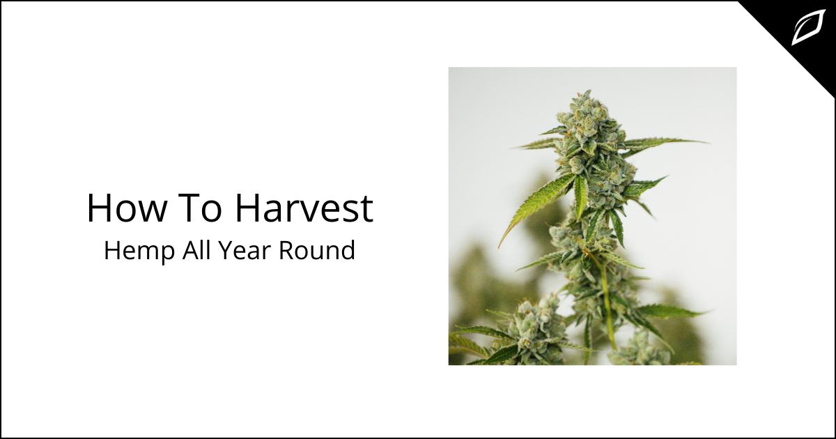 How To Harvest Hemp All Year Round