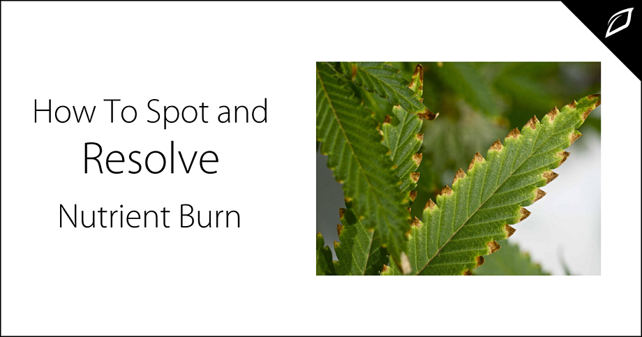 How To Spot And Resolve Nutrient Burn