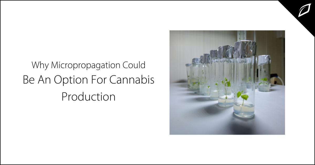 Micropropagation in Cannabis