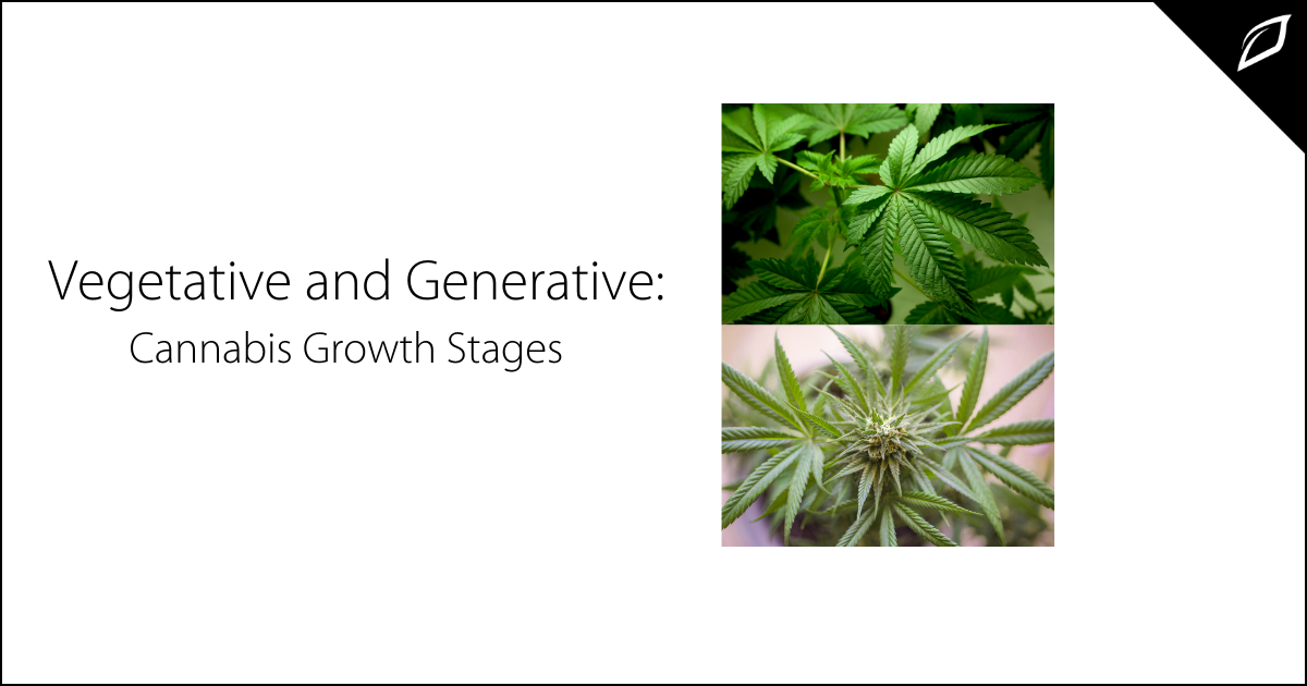 Vegetative and Generative_ Cannabis Growth Stages