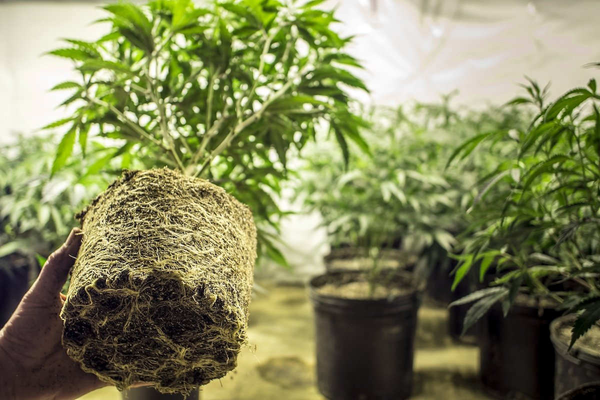 Cannabis root rot